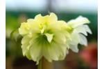 Helleborus x hybridus 'Hybrides de Barnhaven' Jaune Double