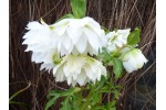 Hellébore double blanc