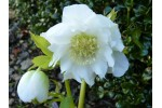 White double hellebore