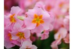 Polyanthus primrose FLAMINGO