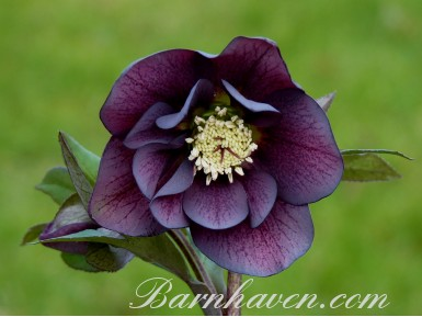 Double purple hellebore seed