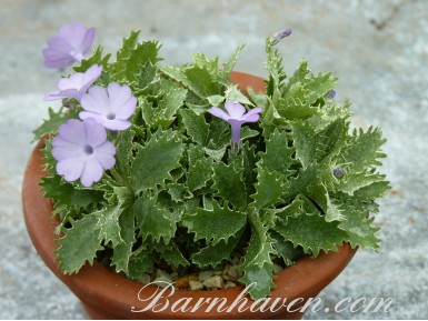 Primula marginata Collected Form
