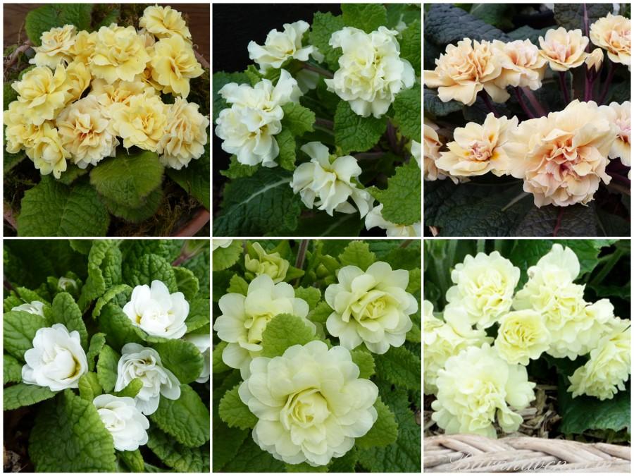 Yellow and cream Double primroses