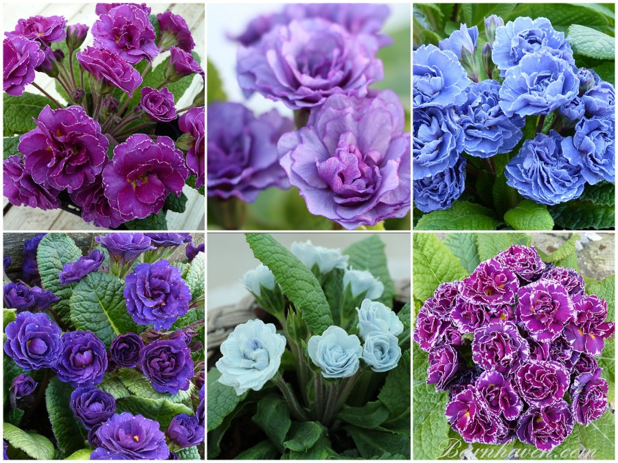 Collection of double primroses - blue, purple, pink