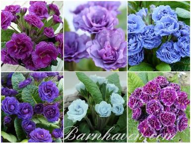 Gefüllte Primel blau, rosa, violett