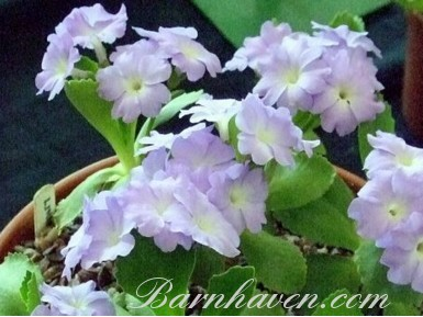 Primula Lindum Heavenly
