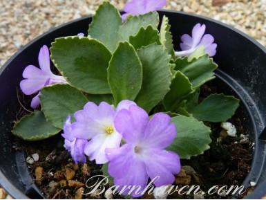 Primevère alpine 'Lindum Lavender Mist'
