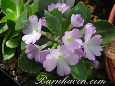 Primula Lindum Moonlight