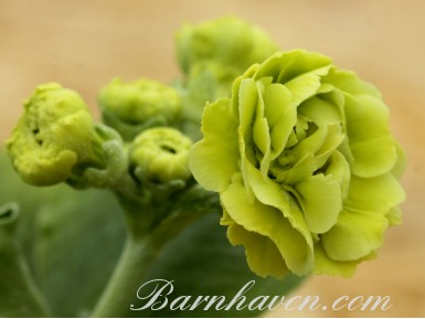 Double auricula Devon Cream