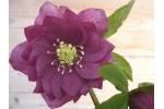 Helleborus x hybridus 'Hybrides de Barnhaven' - Rose foncé Double