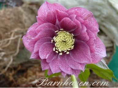 Helleborus x hybridus 'Barnhaven hybrids'  Double dark pink shades