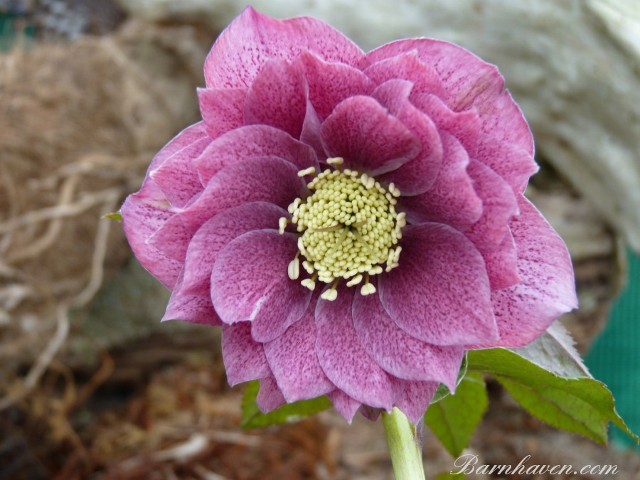 Helleborus x hybridus Double dark pink