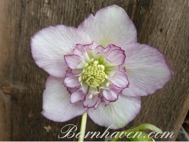 Rose de noël semi-double