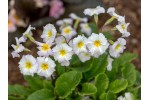 Primula vulgaris Carrigdale