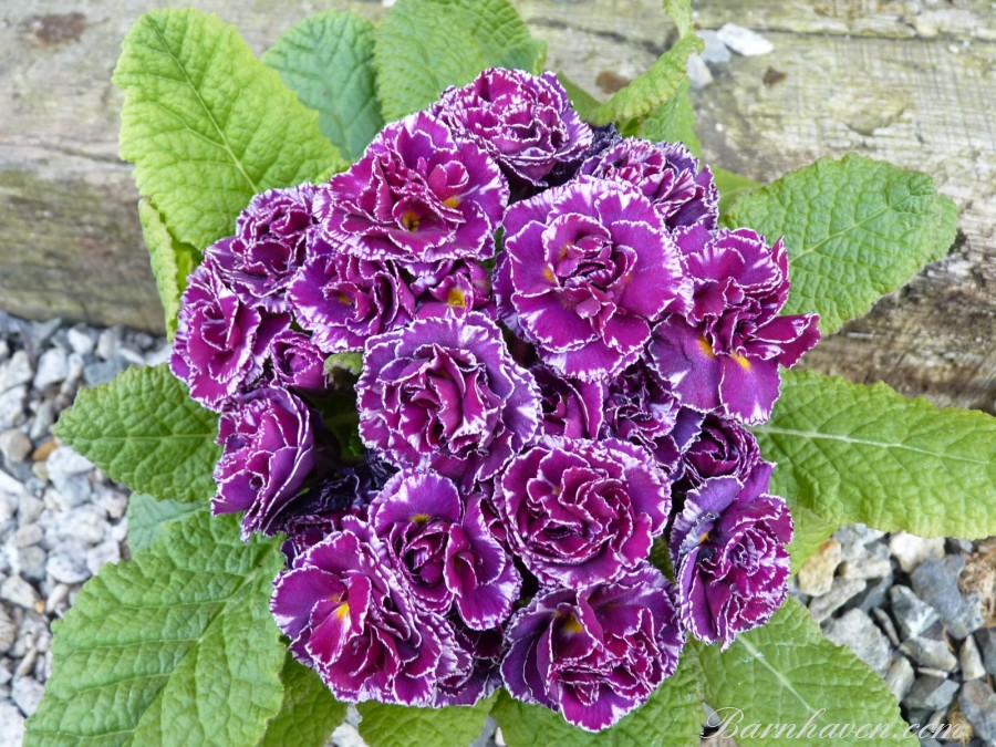Double primrose Tregor Truffle