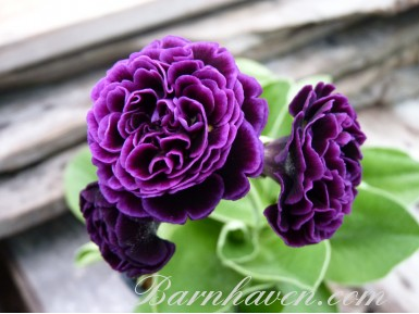 Double auricula Hortense