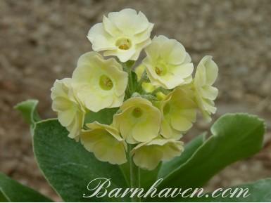 BARNHAVEN BORDER AURICULA - Jaune pâle