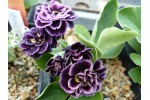 Double auricula shaded purple
