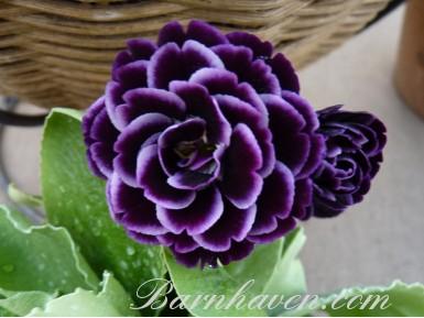 BARNHAVEN DOUBLE AURICULA - Shaded purple shades