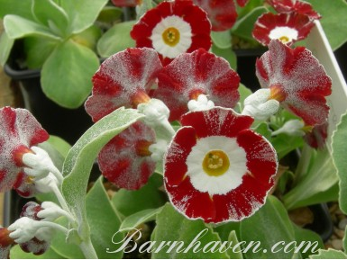 Fancy auricula 'Fleet Street'