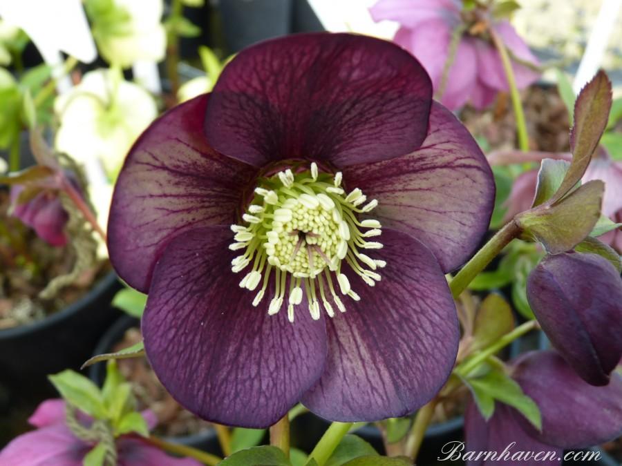 Lenten rose picotee dark shades