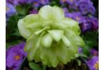 Rose de Carême double vert
