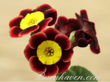 Auricule alpine 'Andrea Julie'