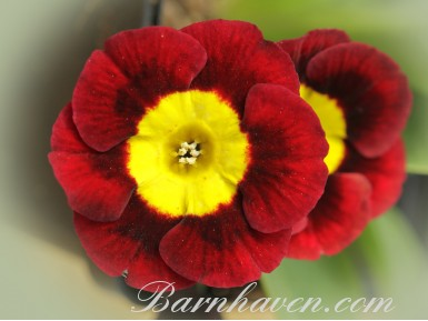 Alpine auricula Applecross