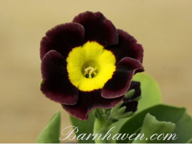 Auricule alpine Brenda's choice