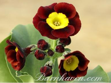 Auricule alpine Bunty