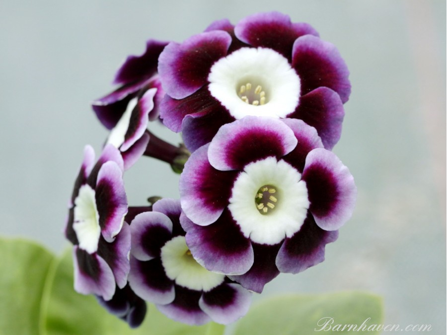 Alpine auricula Ice Maiden
