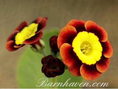 Auricule alpine Landy