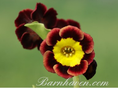 Alpine auricula Margot Fonteyn