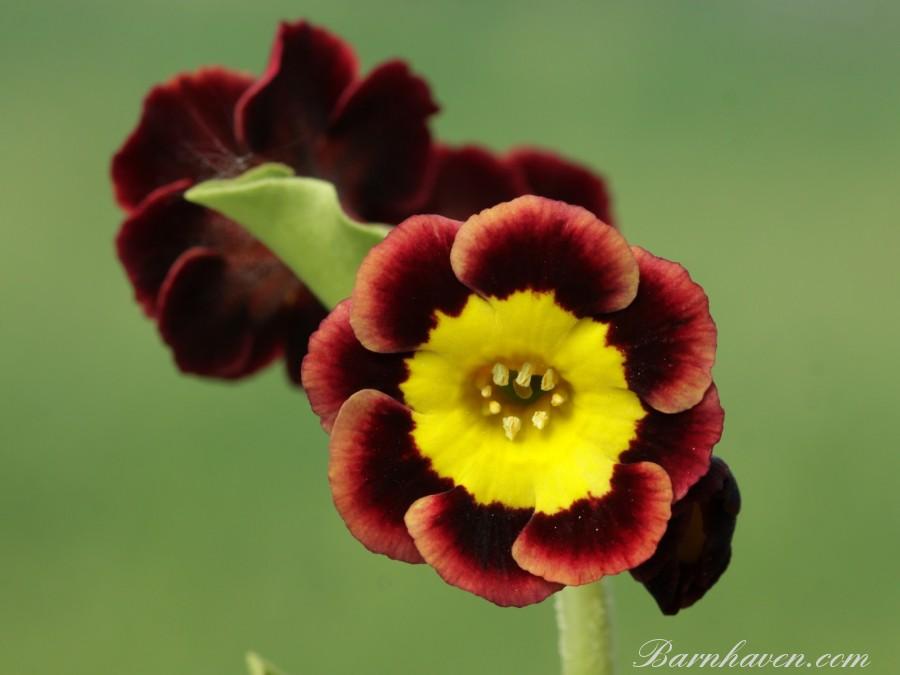 Alpine auricula Margot Fonteyn