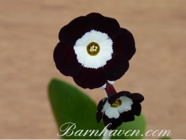 Show Self auricula Barbarella