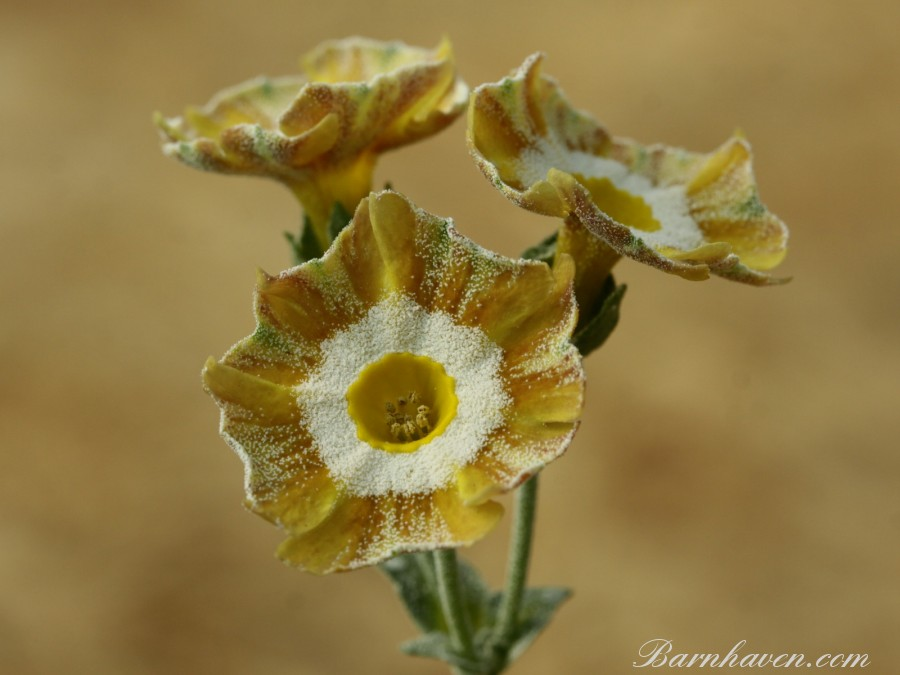 Auricule rayée Fandango