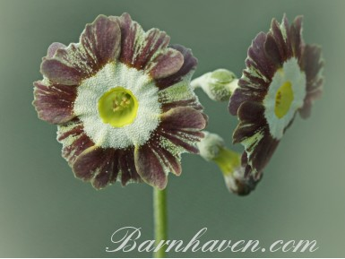 Striped auricula Handsome Lass