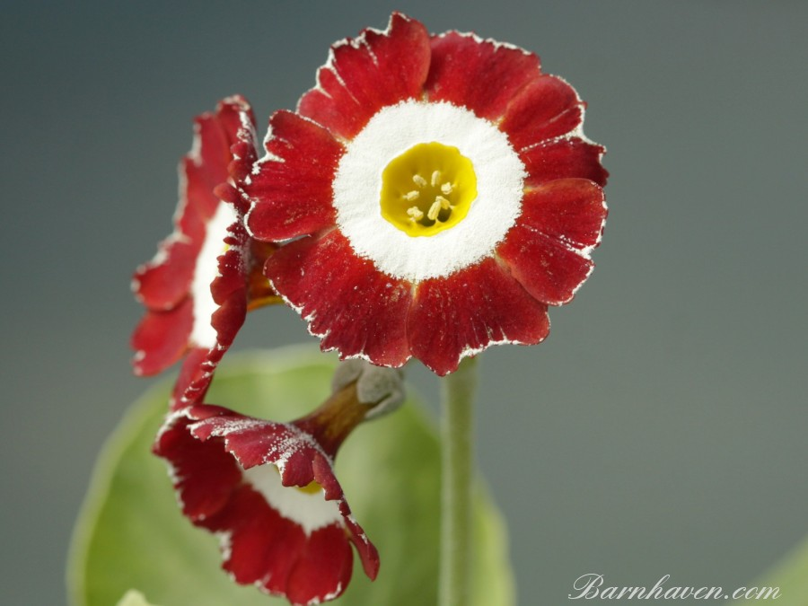 Fancy auricula Fanfare