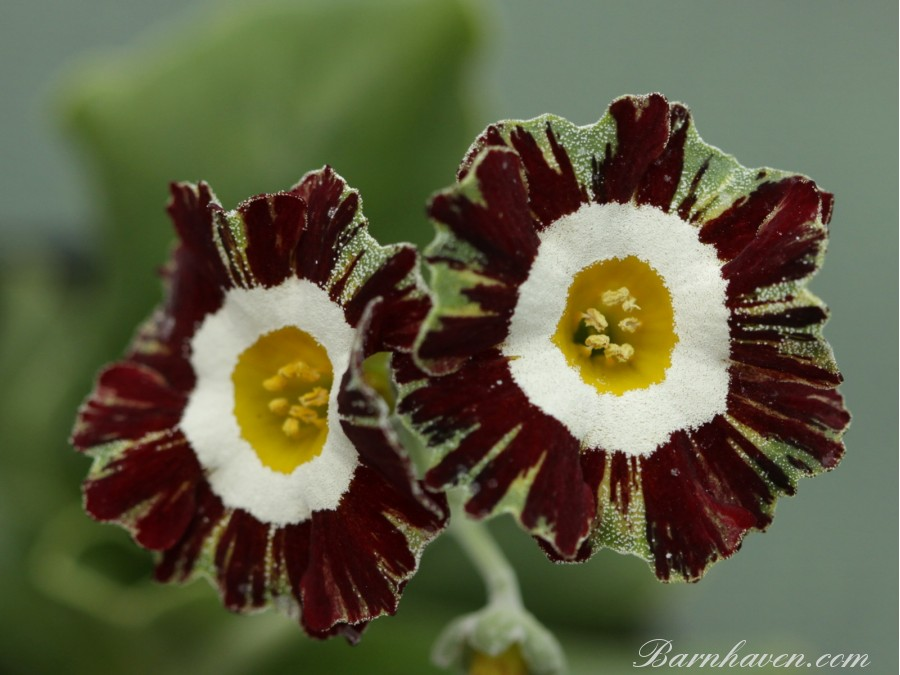 Striped auricula Mazetta Stripe