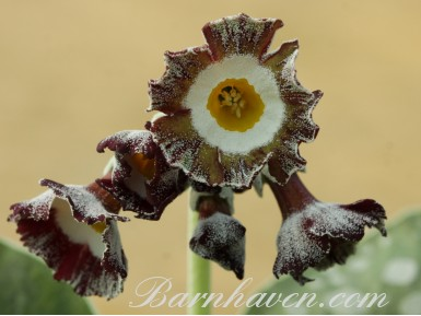 Striped auricula Mersey Tiger
