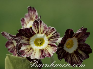 Striped auricula Orwell Tiger