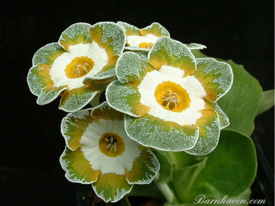Fancy auricula Grey Monarch