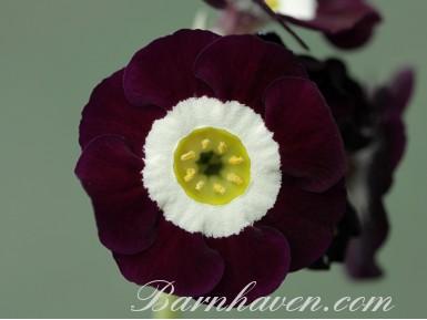 Auricule Self Lilac Domino