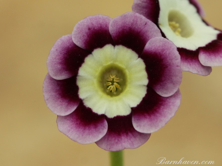Alpine auricula Rowena