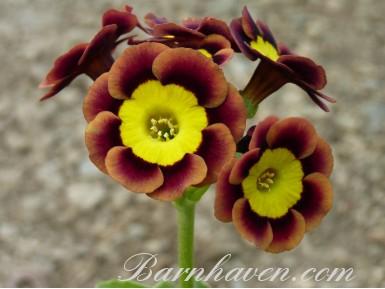 Auricula alpine Slim Whitman