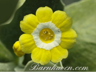 Show self auricula Piccadilly