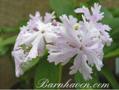 Japanese Primula Momijibashi