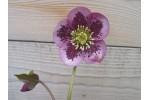 Helleborus x hybridus purple spotted
