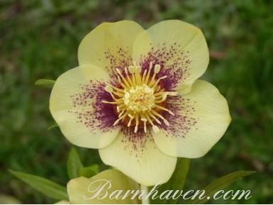 Helleborus x hybridus 'Barnhaven Hybrids' Single Yellow Spotted Shades