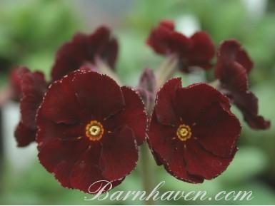 Polyanthus primrose GARNET COWICHAN